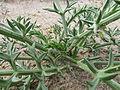 Echinophora spinosa (8759056994).jpg