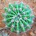 Echinopsis oxygona top view.jpg
