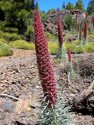 Teide National Park - Echium wildpretii on Tenerife