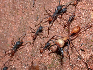 Army ant - Eciton vagans workers