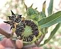 Eclipta prostrata seeds.JPG