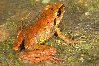 Eleutherodactylidae Family of amphibians