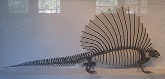 Archer County, Texas - Edaphosaurus boanerges fossil skeleton from Archer County, on display in Harvard Museum of Natural History .