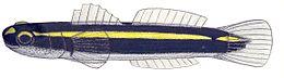 Elacatinus atronasum