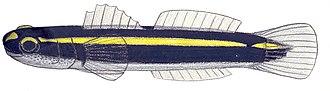 Elacatinus - Image: Elacatinus atronasum