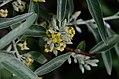 Elaeagnus angustifolia Anthese.jpg