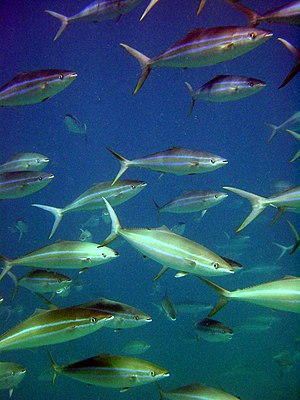 Rainbow runner - A school of Rainbow runner