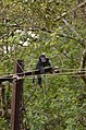 Electrocuted lion-tailed macaque infant in Valparai DSC 2615.jpg