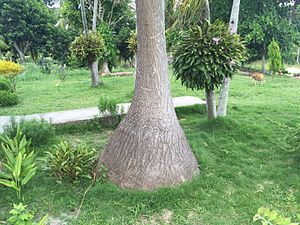 Beaucarnea recurvata - Elephant's foot palm tree trunk in Artemisa Province, Cuba