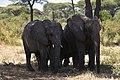 Elephant, Ruaha National Park (1) (28113419243).jpg