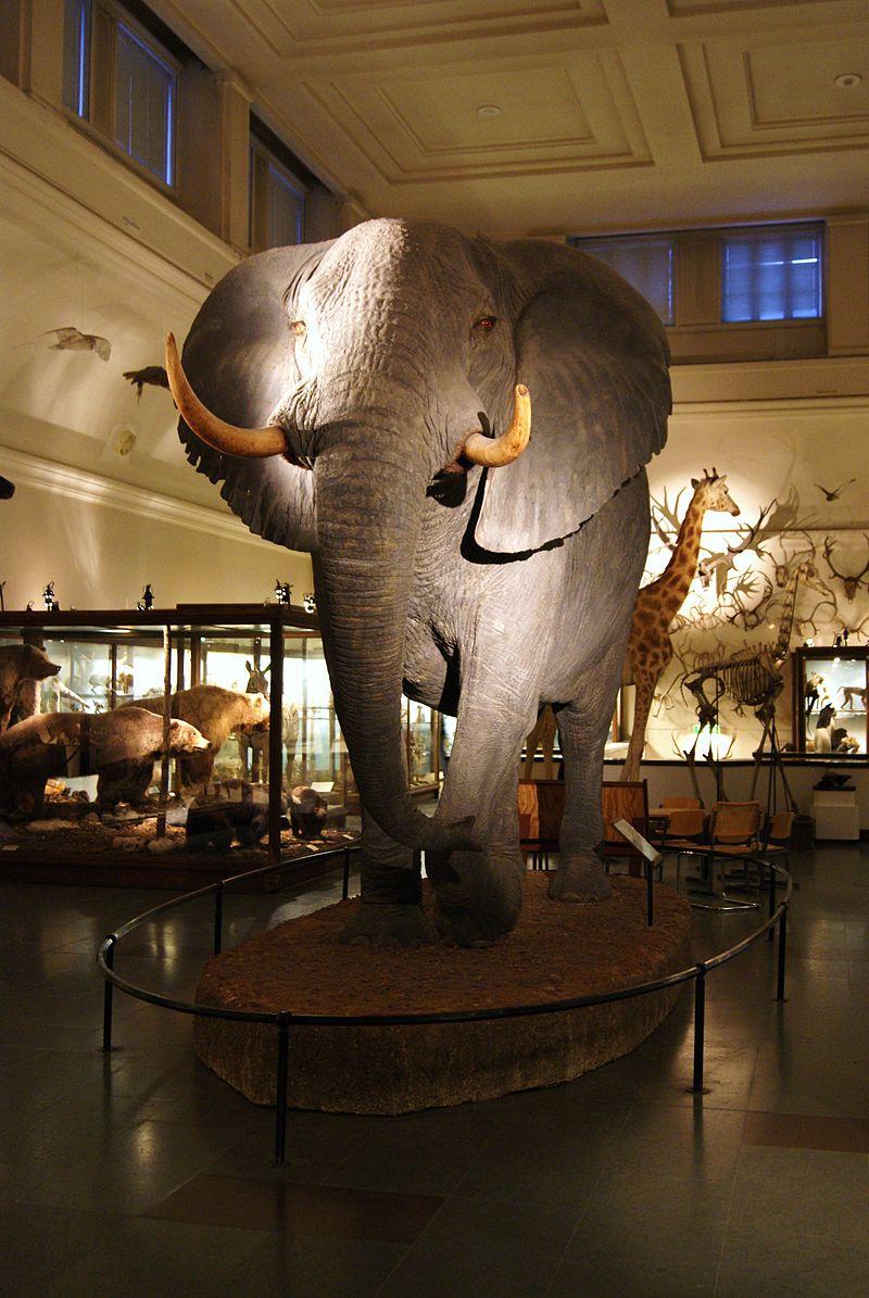 David Sjölanders elephant displayed as taxidermy specimen.