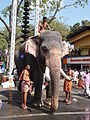 Elephant at start line of 'Anayottam' near 'Manjula tree'..JPG