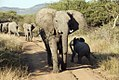Elephant on the road while the calf escapes, North West Province (6252680629).jpg