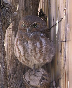 Elf owl puffed.jpg