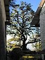 Ellangowan Oak, Mussoorie (5283891833).jpg