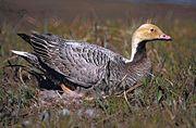 Emperor Goose on nest (orange head).jpg