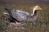 Emperor Goose on nest (orange head).jpg