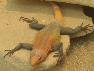 Platysaurus - Platysaurus imperator