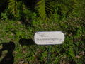 Encephalartos longifolius00.jpg