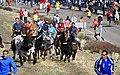 Encierros de Olmedo en el campo.jpg