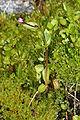 Epilobium anagallidifolium 9938.JPG