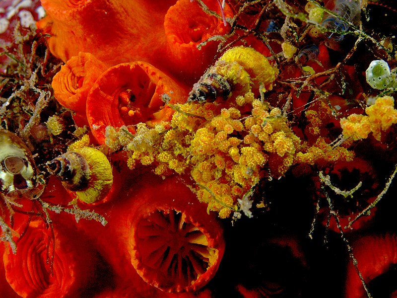 File:Epitonium billeeanum (Wentletrap).jpg