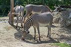Equus grevyi (Zèbre de Grévy) - 390.jpg