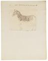 Equus zebra - 1700-1880 - Print - Iconographia Zoologica - Special Collections University of Amsterdam - UBA01 IZ21700003.tif