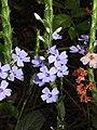 Eranthemum roseum Raan Aboli by Raju Kasambe DSCN3680 (9).jpg