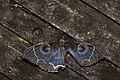 Erebus albicincta obscurata (45789254374).jpg