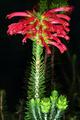 Erica abietina subsp. abietina 0406.png