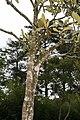 Eriobotrya japonica 14zz.jpg