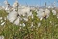 Eriophorum vaginatum at Ullinish - geograph.org.uk - 818109.jpg