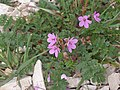 Erodium sp. Croatia.jpg