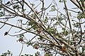 Erythrina caffra-Monreale 1734.jpg
