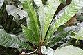 Erythrochiton brasiliensis 15zz.jpg