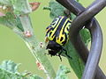 Escarabajo verde en una hoja.JPG
