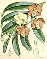 Esmeralda cathcartii (as Vanda cathcartii, spelled ''Vanda cathcarti'') - Curtis' 96 (Ser. 3 no. 26) pl. 5845 (1870).jpg