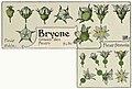 Etude de la plante - p.73 fig.86 - Bryone dioïque, fleurs.jpg