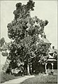 """Eucalyptus diversicolor in """"Eucalypts cultivated in the United States"""" (1902) (14780779804).jpg"""