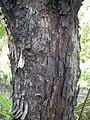 Eucalyptus summeryi bark.jpg