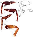 Eucteniza zapatista holotype legs, pedipalp.jpg