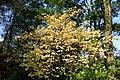 Euonymus latifolius kz8.jpg