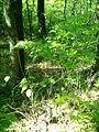 Euonymus verrucosa4pl.jpg