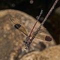 Euphaea fraseri-Aralam-2016-10-29-001.jpg