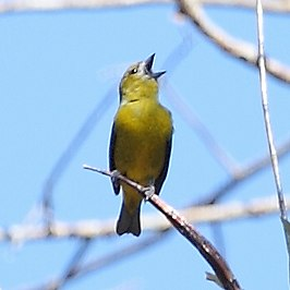 Euphonia chrysopasta - White-lored Euphonia (female).JPG