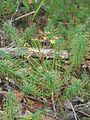 Euphorbia cyparissias 1-eheep (5097309033).jpg