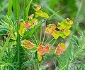 Euphorbia cyparissias at Lac de Roy (3).jpg
