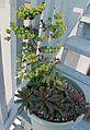 Euphorbia hybrid spurge.jpg