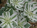 Euphorbia marginata (9899134463).jpg
